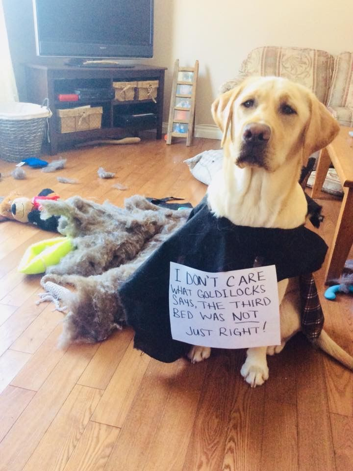 Goldilocks Shmoldilocks In 2020 Yellow Labrador Retriever Dog