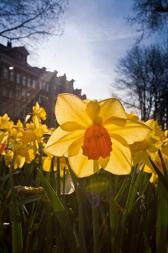 Narcis gefotografeerd met een groothoeklens
