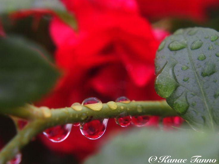 Rose in the rain.