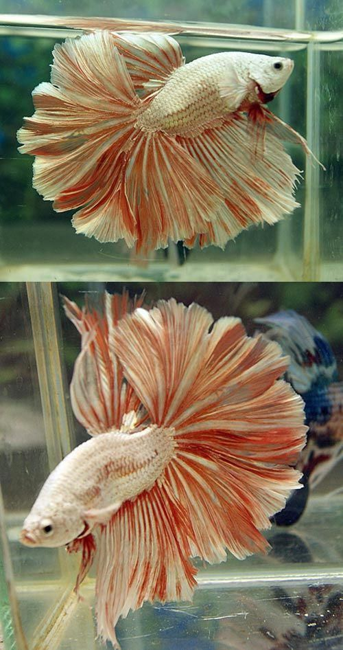 Type Of Betta Fish If You Are Like Me And Have A Strong Passion For Freshwater Aquariums You Have Probably Considered Incorporating Bet Betta Fish Betta Fish