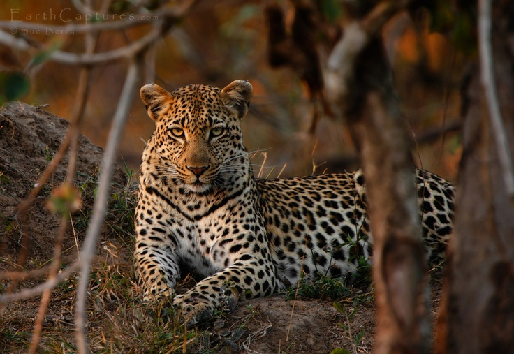 Africa    Leopard at sunset photographed in a dry riverbed in the Kruger National Park, South Africa   © Sue Berry