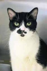 Barney is an adoptable Domestic Short Hair-Black And White Cat in Chicago, IL. Hello! My name is Barney and I've recently become available for adoption. The staff is getting to know me and will soon b...