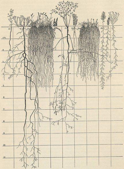 wallacegardens: Prairie Studies, John Earnest Weaver, University of Nebraska 1932-52.