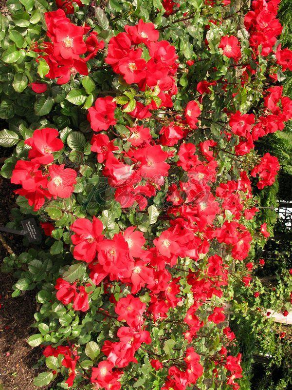 róże dzikie Robusta - Szkólka róż Rozaria