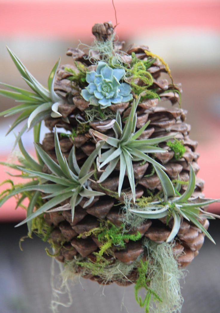 Larger pine cone with succulents and air plants.