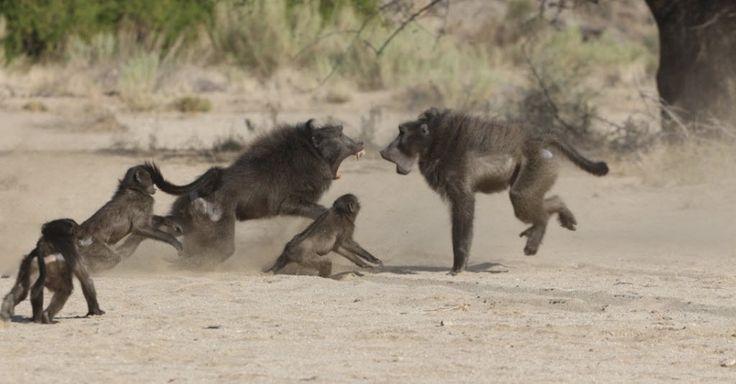Babuíno macho luta pelo acesso às fêmeas no parque Tsoaobis Leopard, na Namíbia. A imagem, feita em 2007, foi publicada com um estudo que comprova que a maior ameaça mortal para bebê babuínos são os adultos da própria espécie e não predadores, como leopardos e guepardos