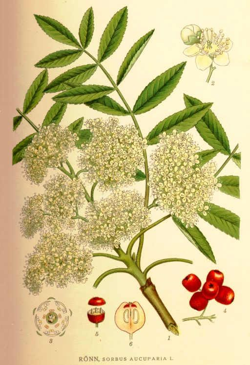 includes magical lore of rowan tree