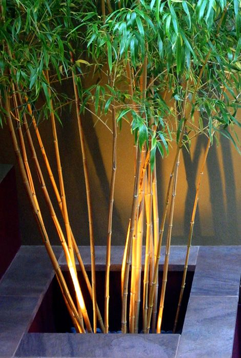 """""""...a home for the Phyllostachys aureosulcata spectabilis. There was no plant suited better for the task of accentuating this void than the thick, glossy stems of the Golden bamboo. Phyllostachys aureosulcata aureocaulis provides tall, straight and smooth canes with long dark leaves – a lush unmistakably tropical appearance. By thinning the canes and lifting the crown one can improve the architectural qualities of the specimen."""""""