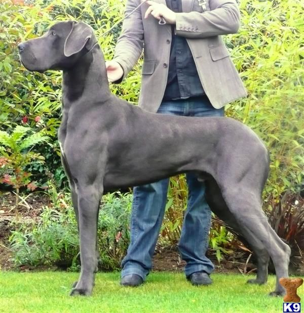 Beautiful Great Dane blue.  Wonderful dogs.