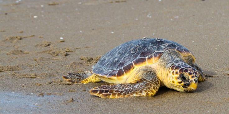 Caretta #Caretta #Schildkröte © shutterstock