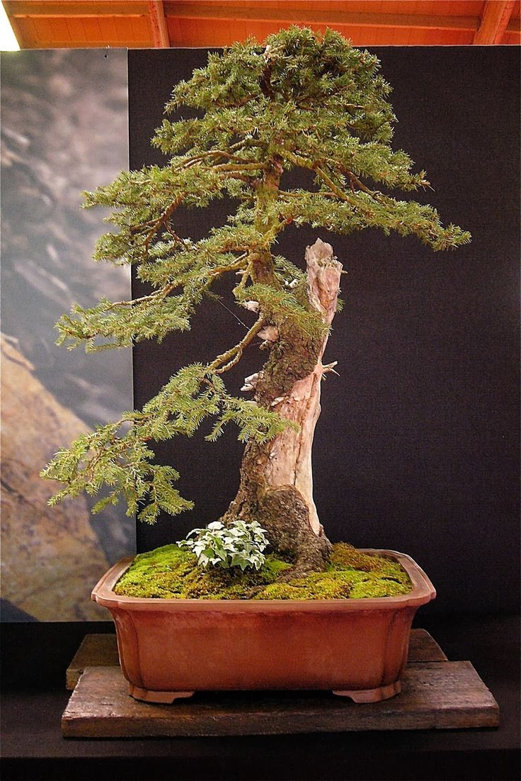 1000 Images About Bonsai Trees Ancient Beauty On Pinterest