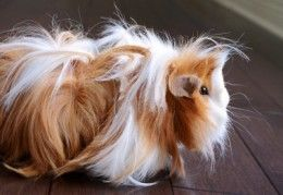An example of a layered haircut on a Peruvian guinea pig.