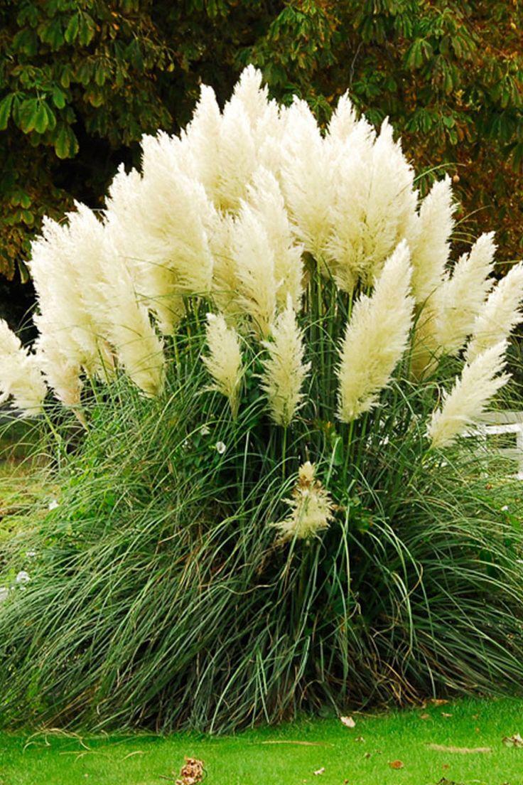 Les 25 meilleures id es de la cat gorie herbe de la pampa sur pinterest plantes d 39 ornement - Fleur de pampa ...