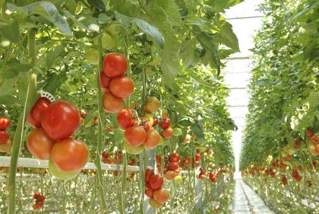 Доматите - как да ги засадим правилно за да получим добра реколта