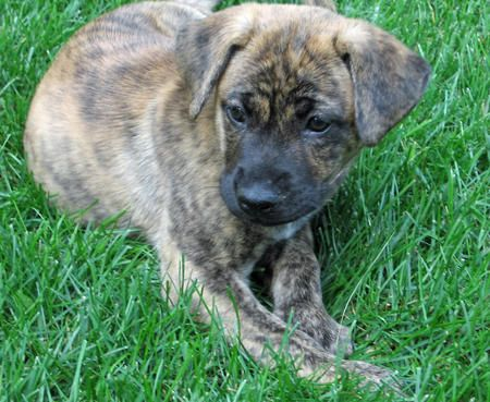 Tiger Lilly the Boxer / Mastiff Mix - Beautiful mix breed.