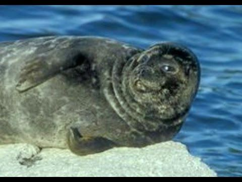 Happy seal resting on the rock - YouTube