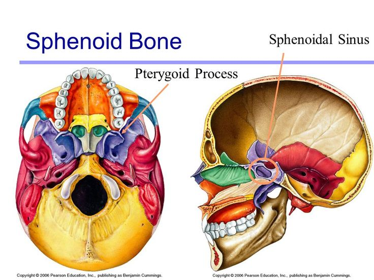 322 best cranio images on pinterest | bones, radiology and facials, Human Body