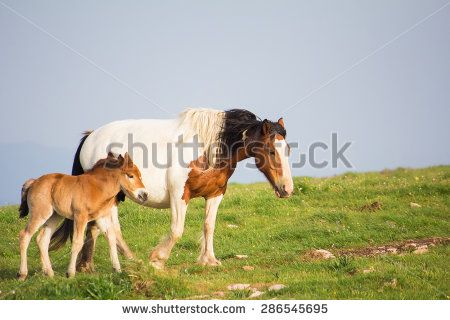 Portrait of wild paint horse with her baby. #Horses #PaintHorse #Animals #Farm #Foal #Baby #Pets #Mammals #Landscape #Umbria #Park #Mare #WildHorses #Dekstop #Wallpapers