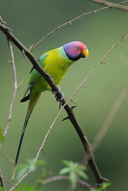 Plum Headed Parakeet Male by bishancm*