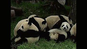 Panda Diet Gif #8011 - Funny Panda Gifs| Funny Gifs| Panda Gifs