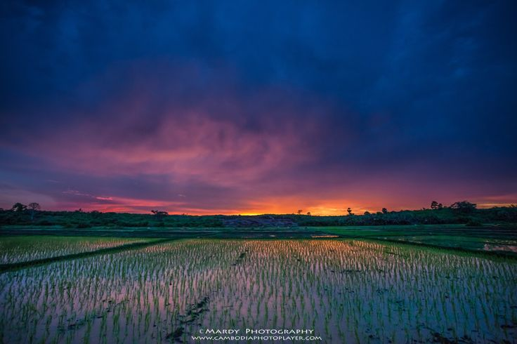 Rice plant! by Mardy Photography on 500px#cambodia #khmer #mardy #mardy photography #mardy suong #rice #sunset