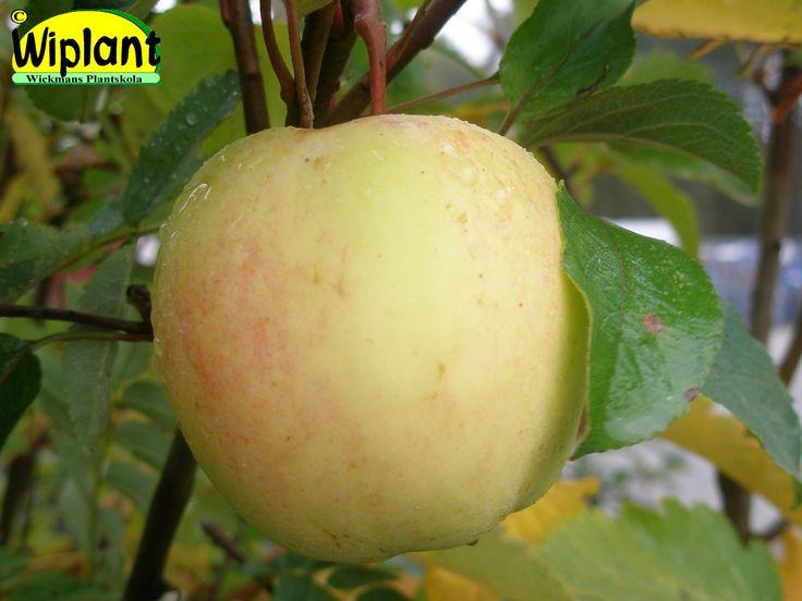 Malus 'Uslada', Frukterna något över medelstorlek ca. 120 g. Bottenfärgen är gröngul och täckfärgen har rödrandiga fläckar på äpplets alla sidor. Riklig och jämn skörd. Sorten ger skörd inom relativt få år. Trädet mycket vinterhärdigt, ungefär motsvarande Antonovka sortern. Bra motståndskraft mot fruktskorv. Sorten katalogiseras i Finland som en höstsort som står sig bra i lager nästan till jul. Zon (Finland) I-IV.