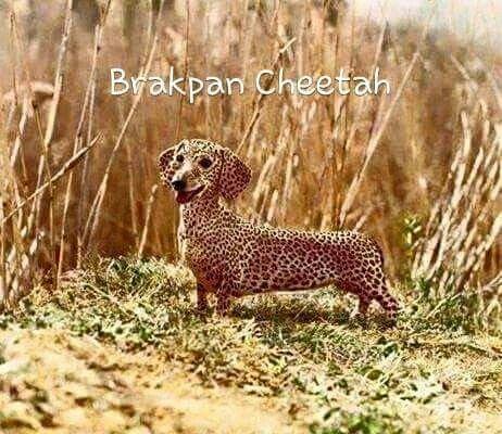 Brakpan cheetah #funny #jokes #SA #South_Africa #funny #snaaks #grappe #hond #cheetah