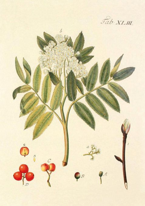 Serbal Sorbus aucuparia reproducción de por NatureVintagePrints