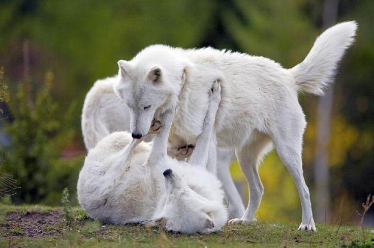 White Wolves in love - Pixdaus