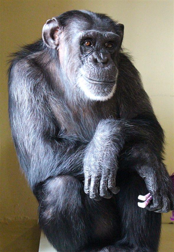 A model chimpanzee «