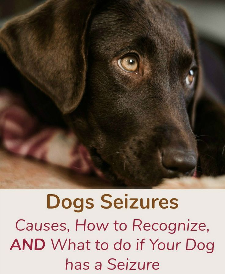 Dogs Seizures Causes How To Recognize And What To Do If Your