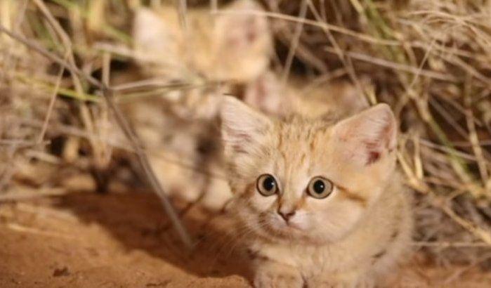 Ergens in de Marokkaanse woestijn werden onlangs voor het eerst drie kittens van een zandkat gefilmd door een team onderzoekers, die zich in Marokko bevonden om onderzoek te doen naar deze ras. Kittens zandkat voor het eerst in Marokko gefilmd (video)