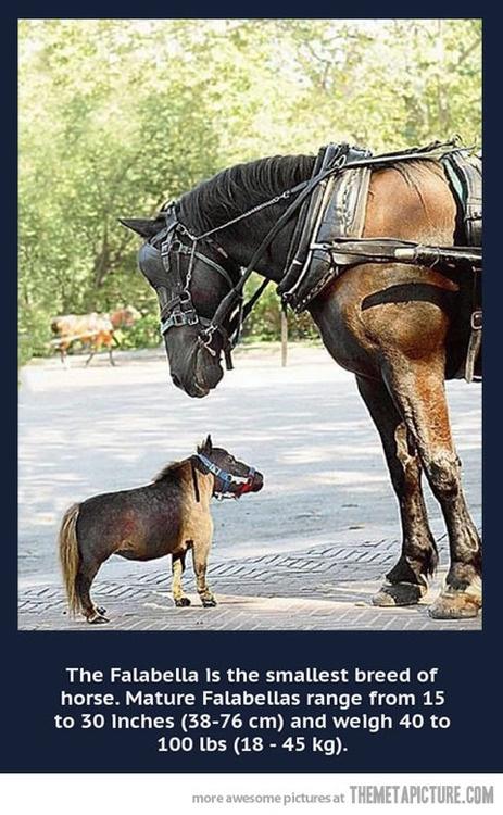 The Falabella Miniature Horse