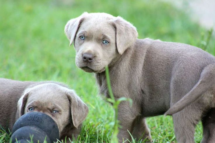 Silver Labrador Retrievers Silver Labrador retriever