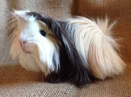 peruvian guinea pigs don't have the long show coat when they run in groups