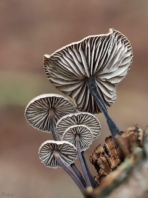 Mushroom Lamella by Frank Ruckert