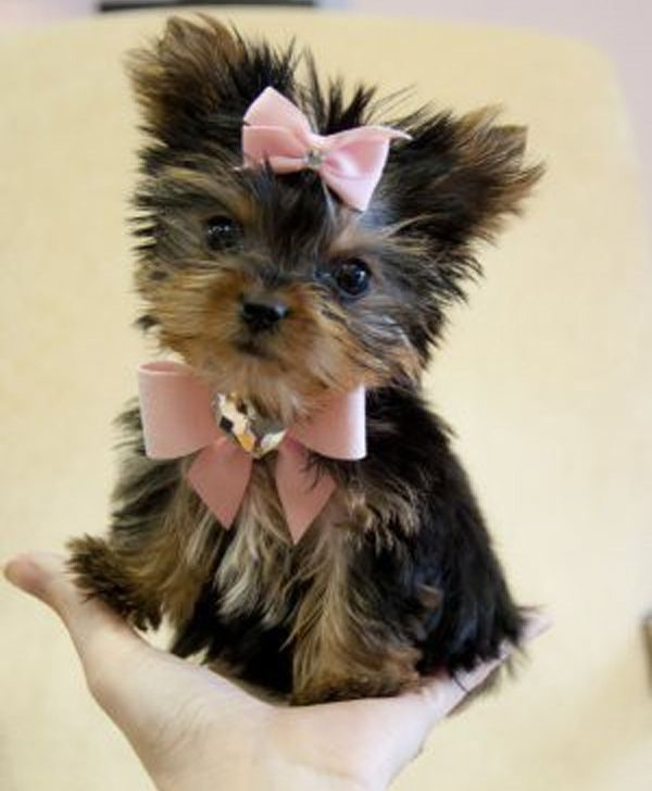 Videos & Pictures of Cats and Dogs - teacup yorkie clothes fashion