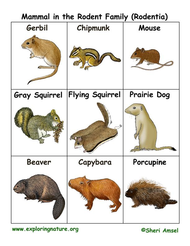 22 Best Images About Rodentia Squirrels Mice Amp More On