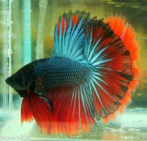 Bb4 halfmoon steel red blue butterfly male by beauty betta for Ebay betta fish