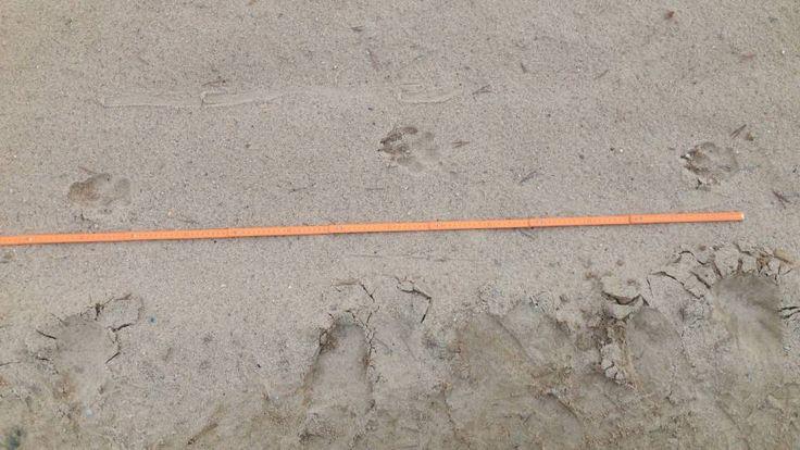 Ulve, der jo er i familie med tamme hunde, kan let forveksles med blandt andet schæferhunde. Derfor har Naturstyrelsen lavet en lille guide til, hvilke forskelle man skal kigge efter.  Poteaftryk. Det første, du skal kigge efter, er størrelsen på poteaftrykket. En ulvepote er mellem otte og 10 centimeter stor.  Dobbeltspor. Det næste, du skal tjekke, er, om der er tale om et dobbeltspor. Når en ulv bevæger sig fra et punkt til et andet, går den oftest på vejen, fordi det er nemmest og mindst…