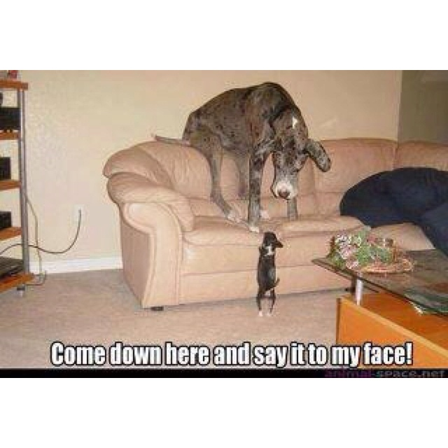 Yeah!!!!!!Great Danes, Random Funny, Funny Dogs, Small Dogs, Funny Pictures, Animal Friends, Baby, Little Dogs, Big Dogs
