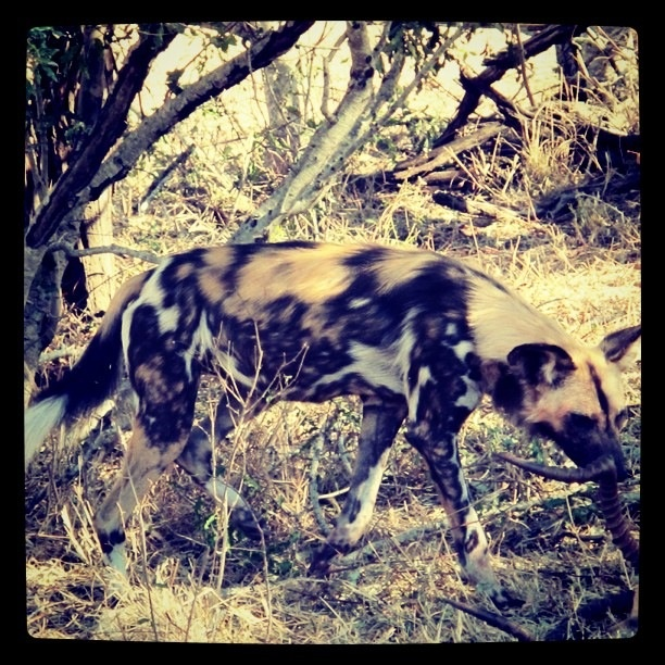 "Beautiful but also Africa's killing machines.  Rare sight of a Wild Dog aka the ""Painted Dog"" part of a pack of 13"