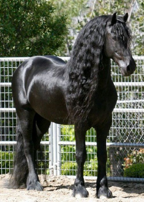 friesien horse alexander the great   Friesian Horses for Sale from Black Sterling Friesians