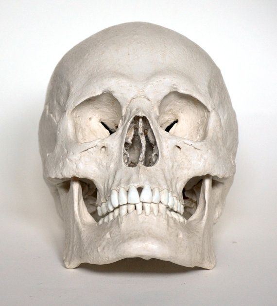 Museum Quality Skull Replica of a European Male.   $191  --  Accurate reproduction cast from a real Skull in Resin-Gypsum Composite with Resin Teeth and hand