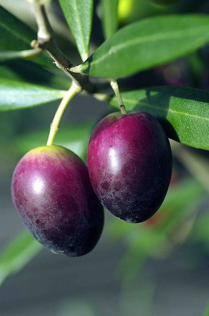 Perfect olives, ripe for the picking.