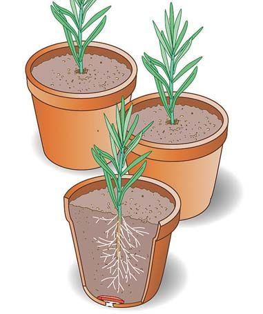 die besten 20 lavendel pflanzen ideen auf pinterest wachsender lavendel lavendelgarten und. Black Bedroom Furniture Sets. Home Design Ideas