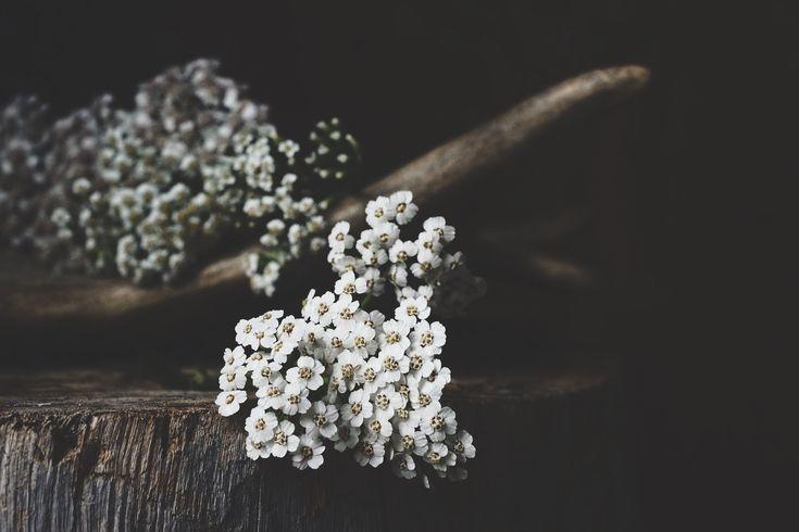 Yarrow | the busy healer | Spiritwoods Botanicals