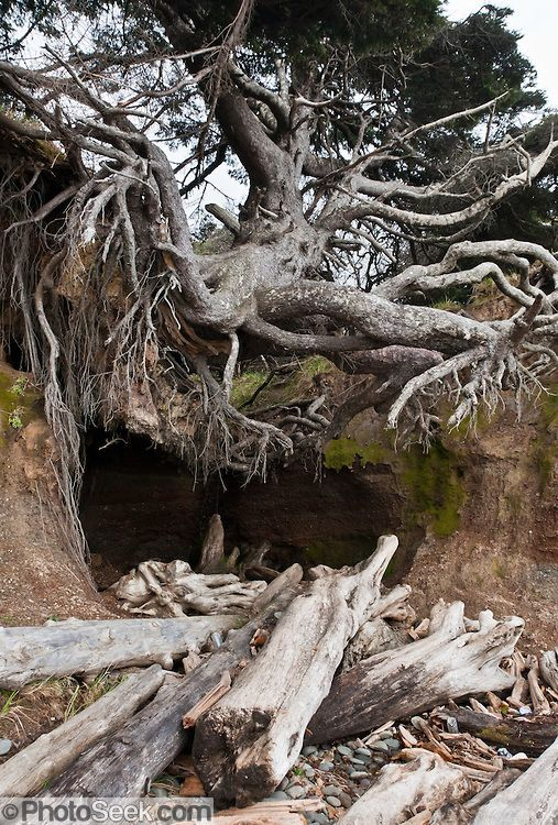 L'arbre équilibriste / Plage de Kalaloch Olympic National Park dans l'état de Washington