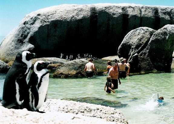 Swim with Penguins, Boulders Beach, Cape Town, South Africa