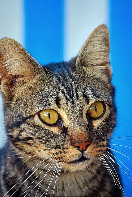 Bosco, gato pardo y negro tabby espectacular, nacido en Julio´13, en adopción. Valencia.